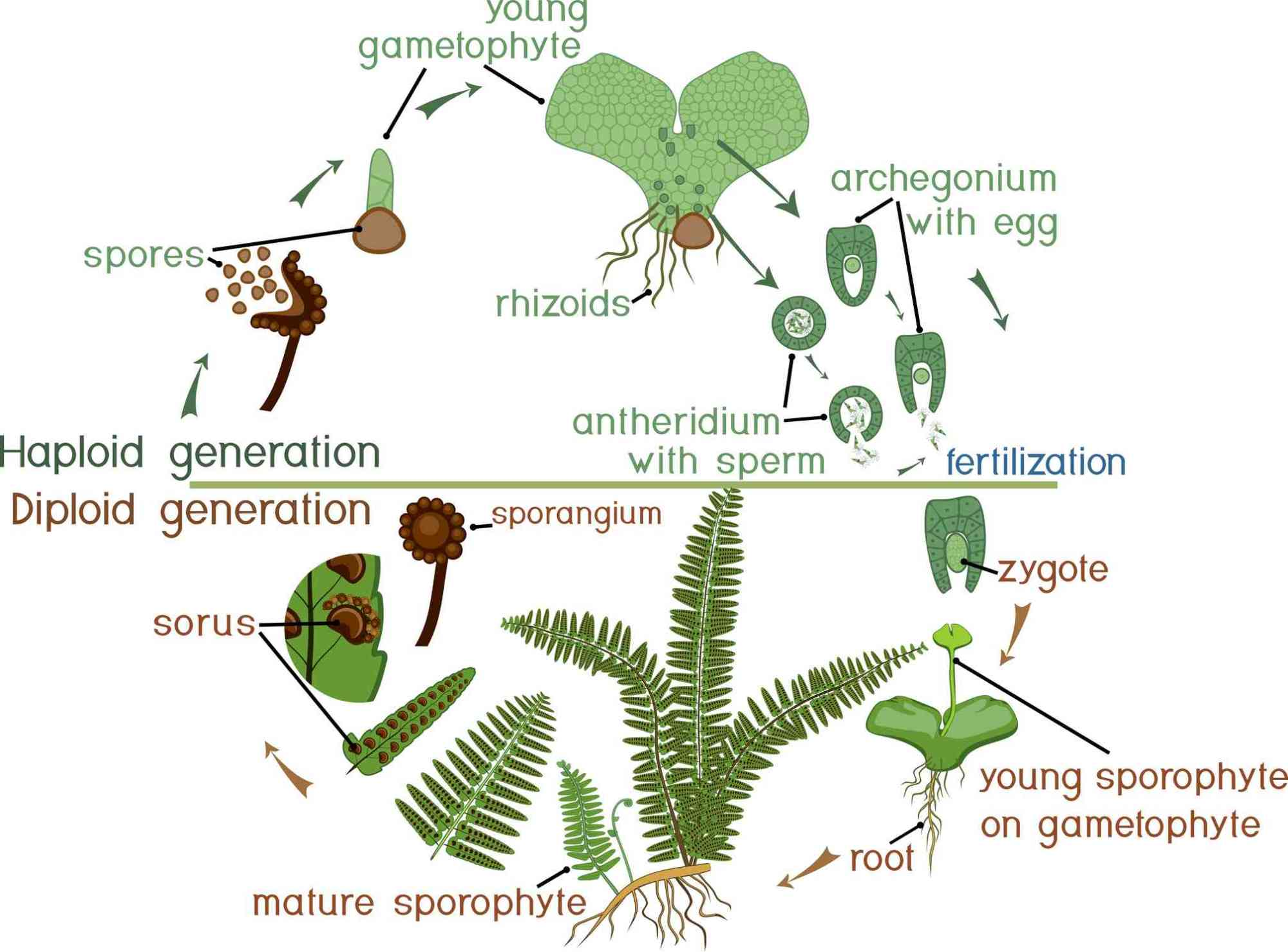 hight resolution of ferns alternate generations as part of their life cycle