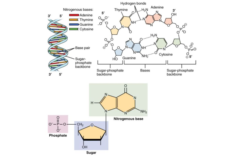 medium resolution of dna is composed of a phosphate deoxyribose sugar backbone and the four nitrogenous bases adenine a guanine g cytosine c and thymine t