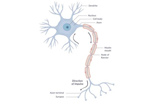 small resolution of diagram of a neuron