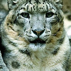 snow leopard anatomy diagram ammo box speaker wiring pictures images of asia s mountain cats