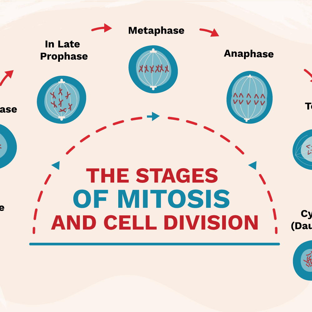 stages of mitosis diagram labeled scout ii ignition wiring the and cell division