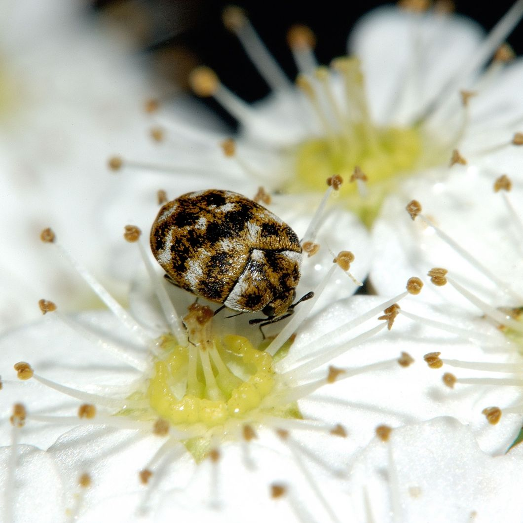 tiny black and white bugs in bedroom  psoriasisguru