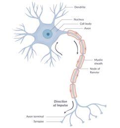 diagram of a neuron [ 1500 x 1000 Pixel ]