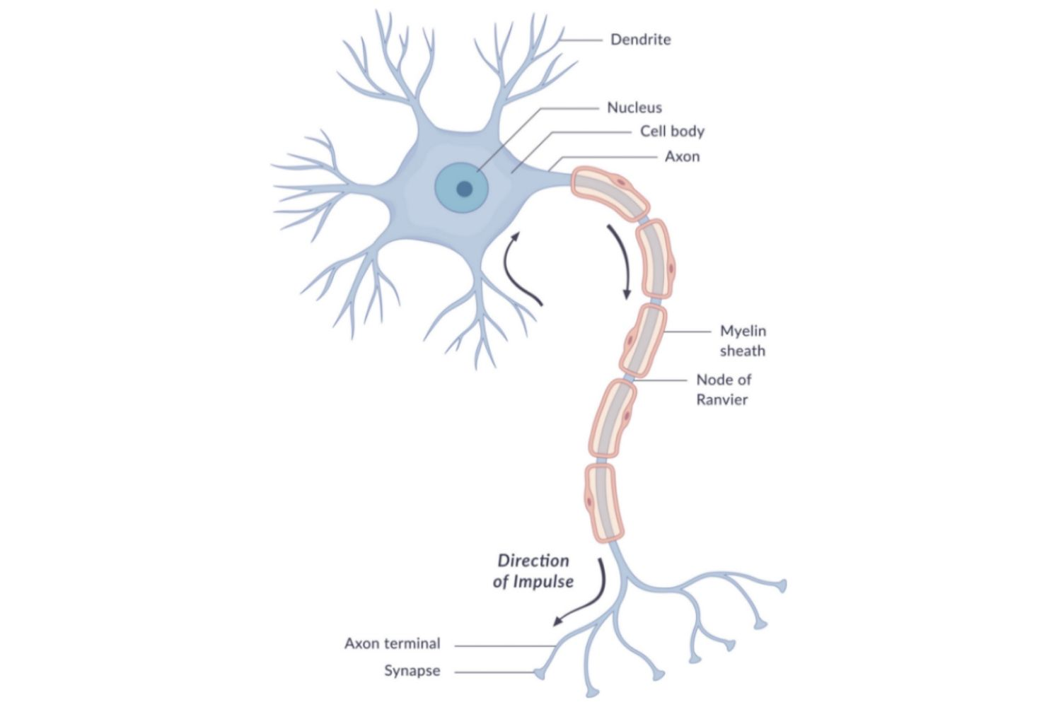 hight resolution of diagram of a neuron