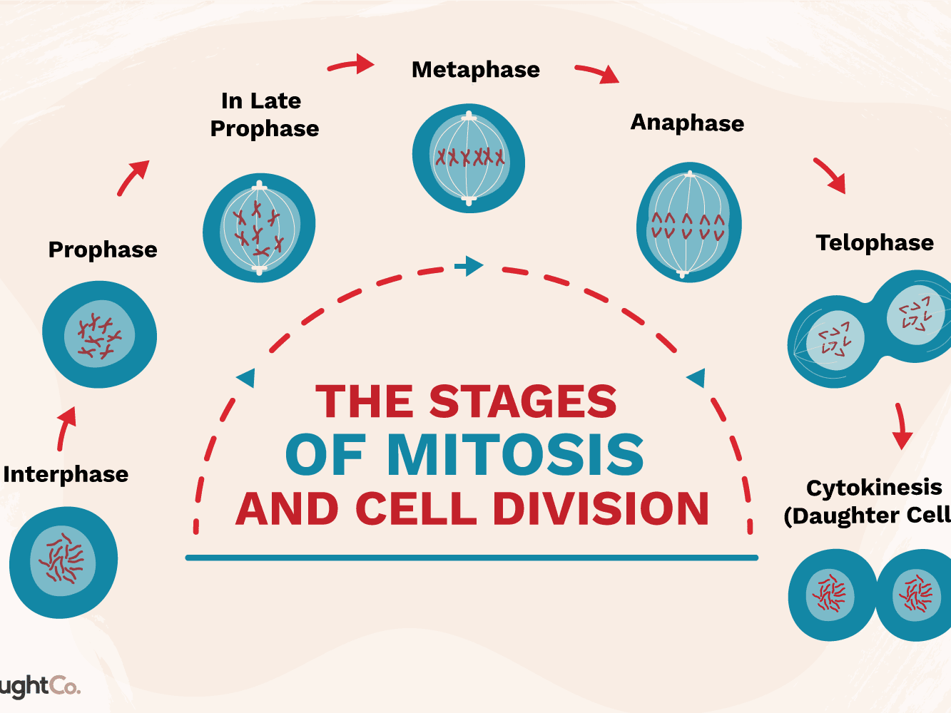 Genetic Makeup Of Daughter Cells In Mitosis