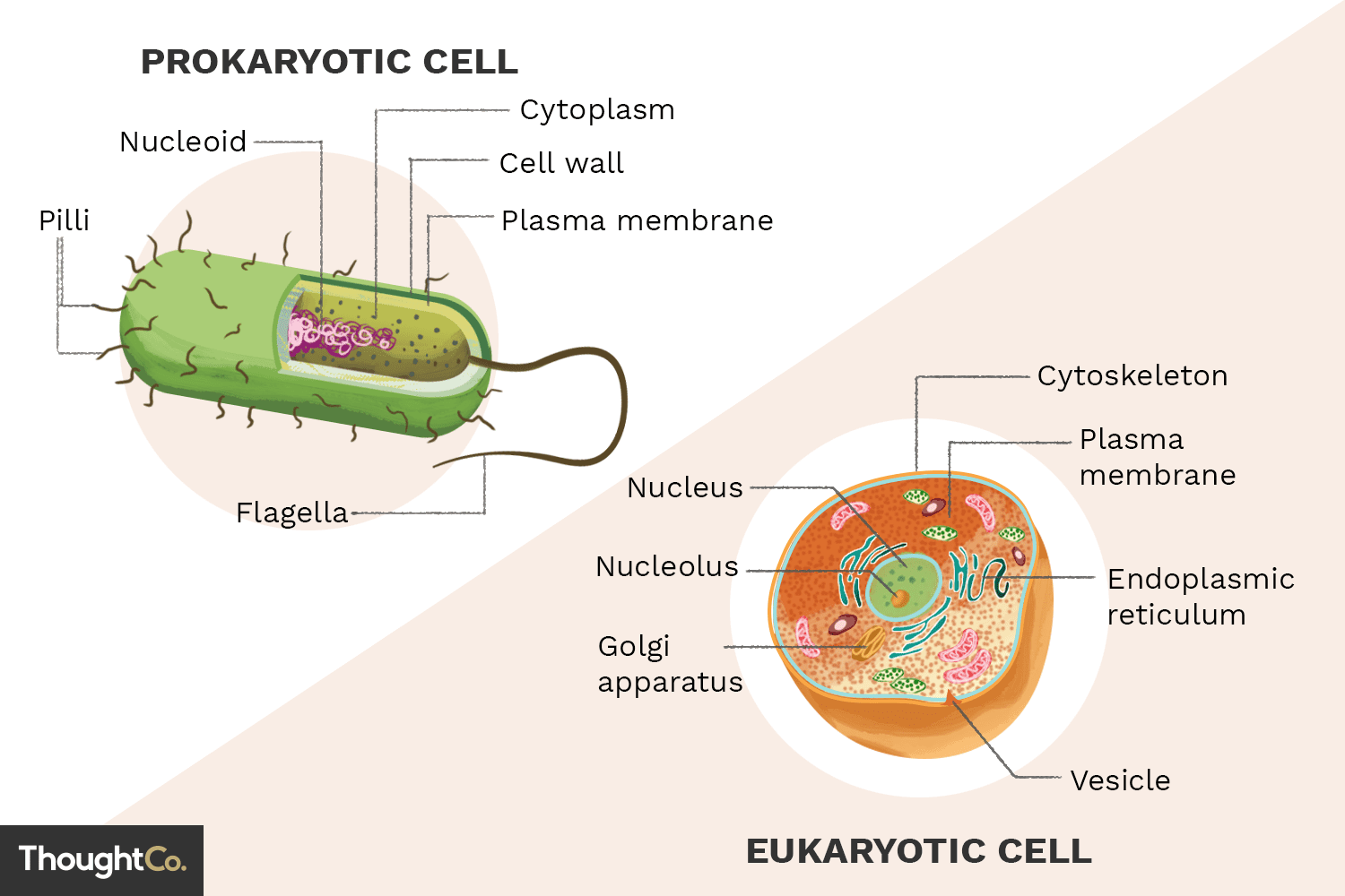prokaryotic cell diagram ford sierra ignition wiring what are the differences between prokaryotes and eukaryotes
