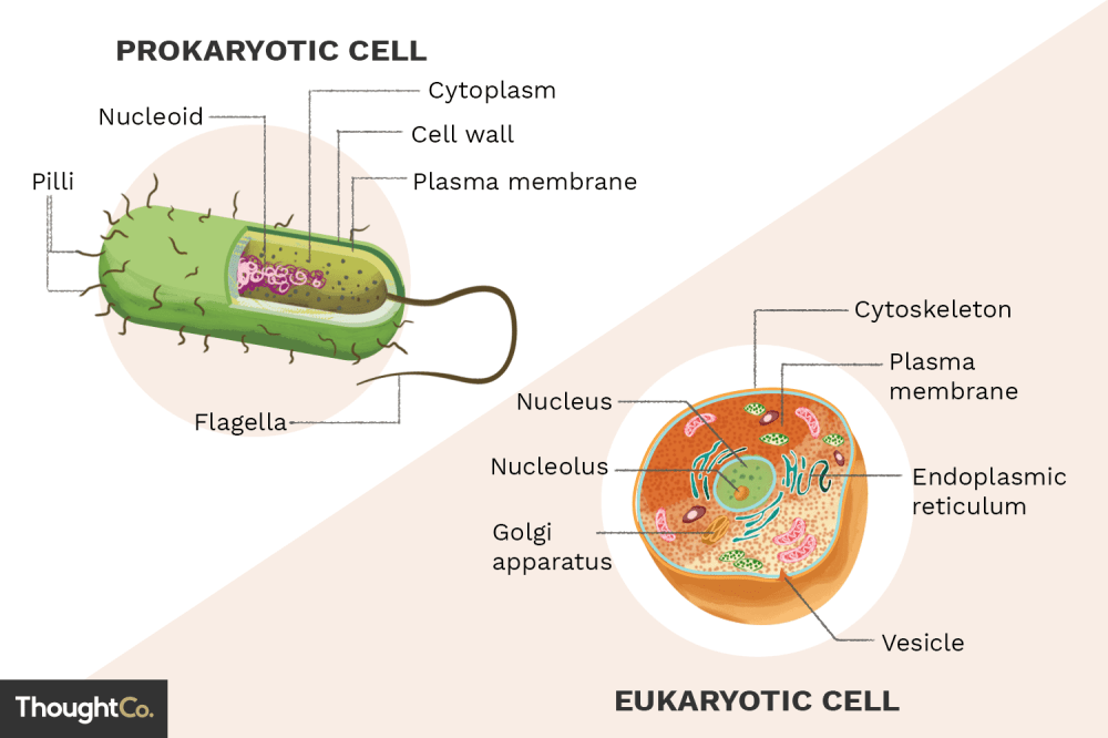 medium resolution of typical eukaryotic cell diagram