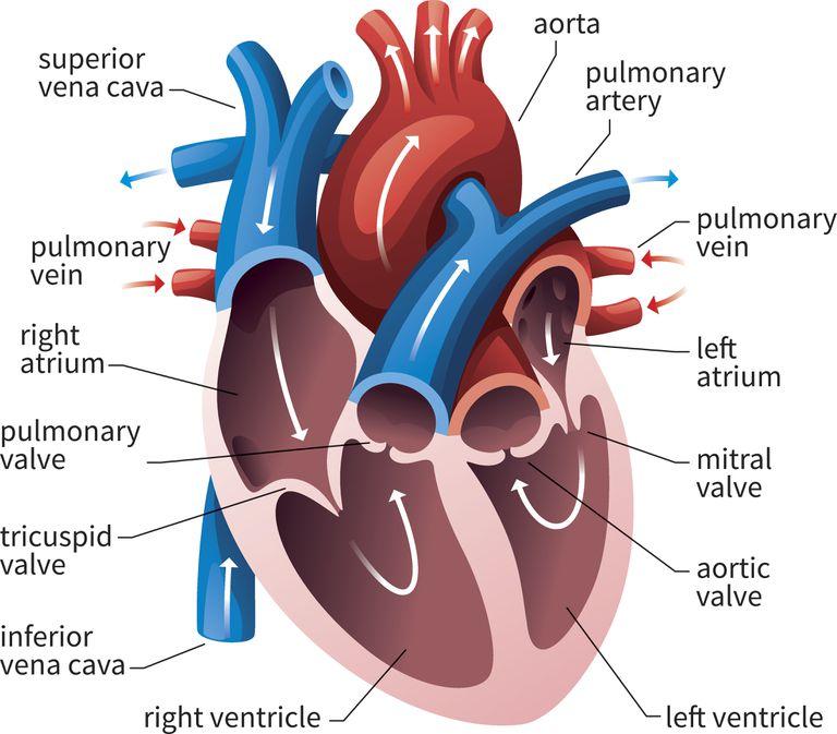 human heart and lungs diagram 1972 chevelle starter wiring av semilunar valves circulatory system