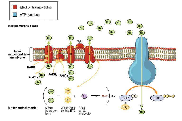 electron transport chain diagram for dummies weathering and erosion venn energy production explained