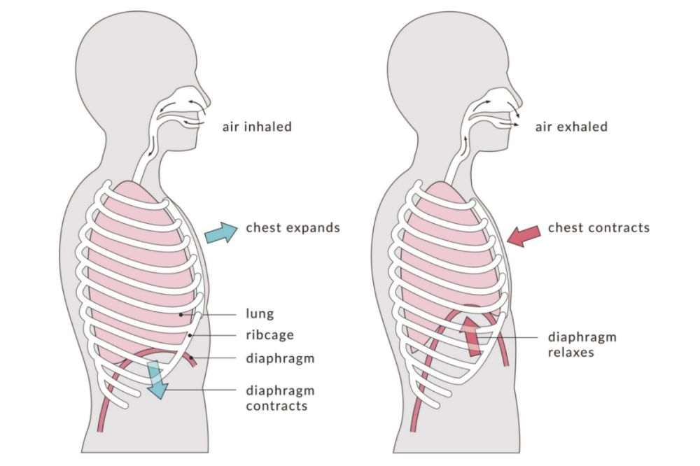 medium resolution of types of respiration external and internal breathing diagram