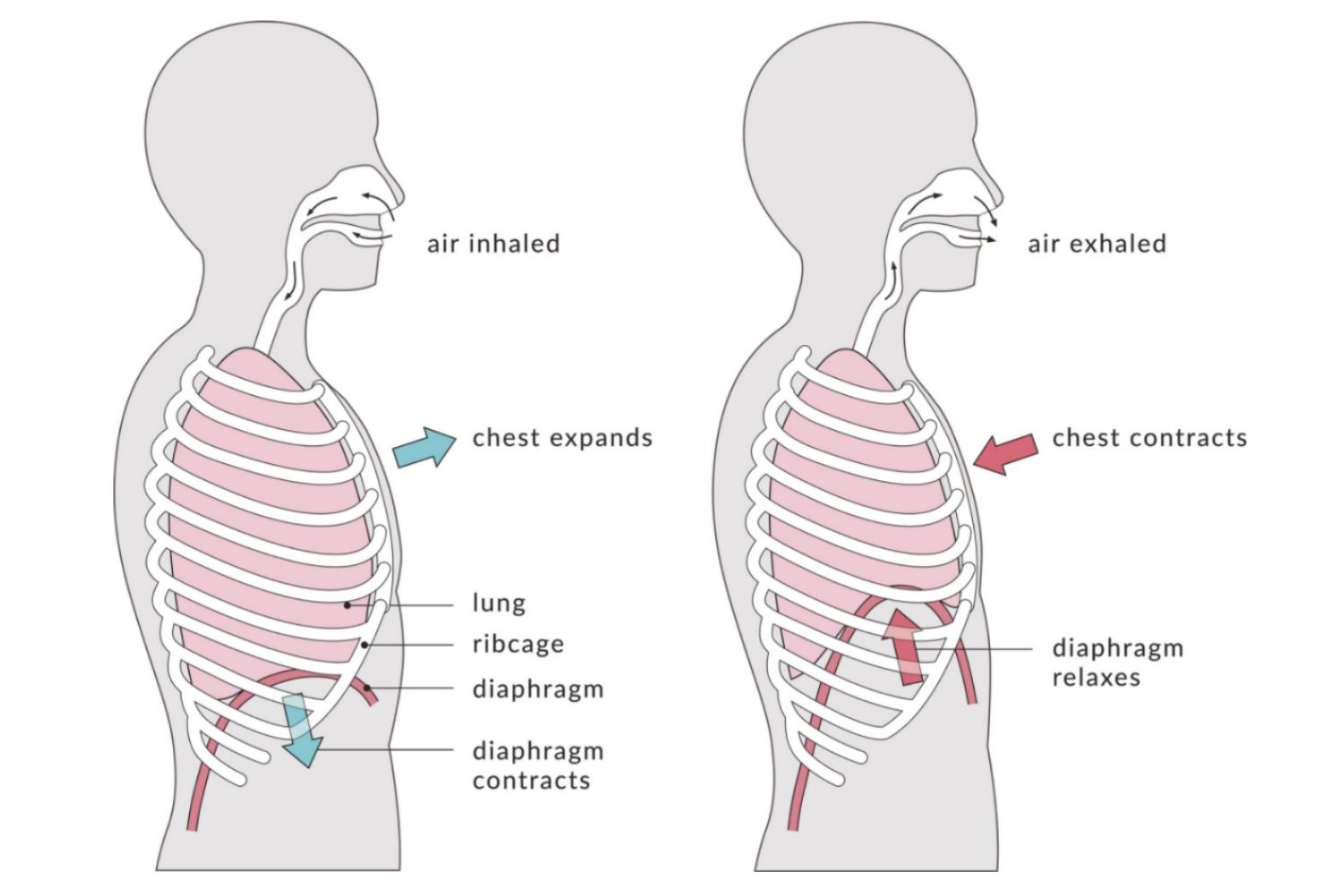 hight resolution of types of respiration external and internal breathing diagram
