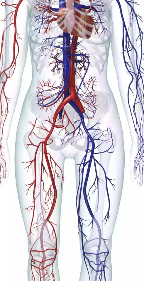 Ilustração digital do sistema cardiovascular humano (feminino)