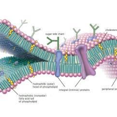 Human Cell Wall Diagram Labeled 66 Mustang Power Steering Membrane Function And Structure A Molecular View Of The Highlighting Phospholipids Cholesterol Intrinsic Extrinsic