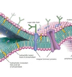 a molecular view of the cell membrane highlighting phospholipids cholesterol and intrinsic and extrinsic [ 1500 x 1000 Pixel ]
