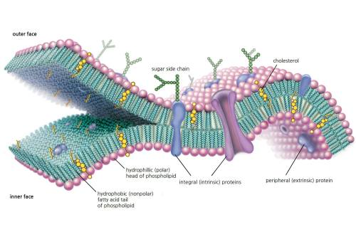 small resolution of cell membrane structure