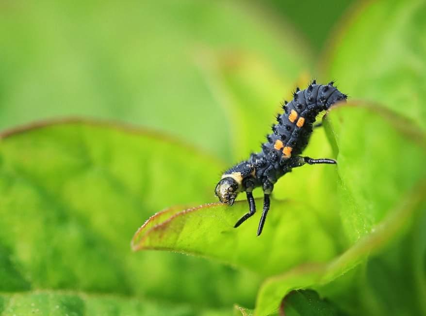 Larval stage of a 2 spot ladybird (Adalia bipunctata) eating a leaf