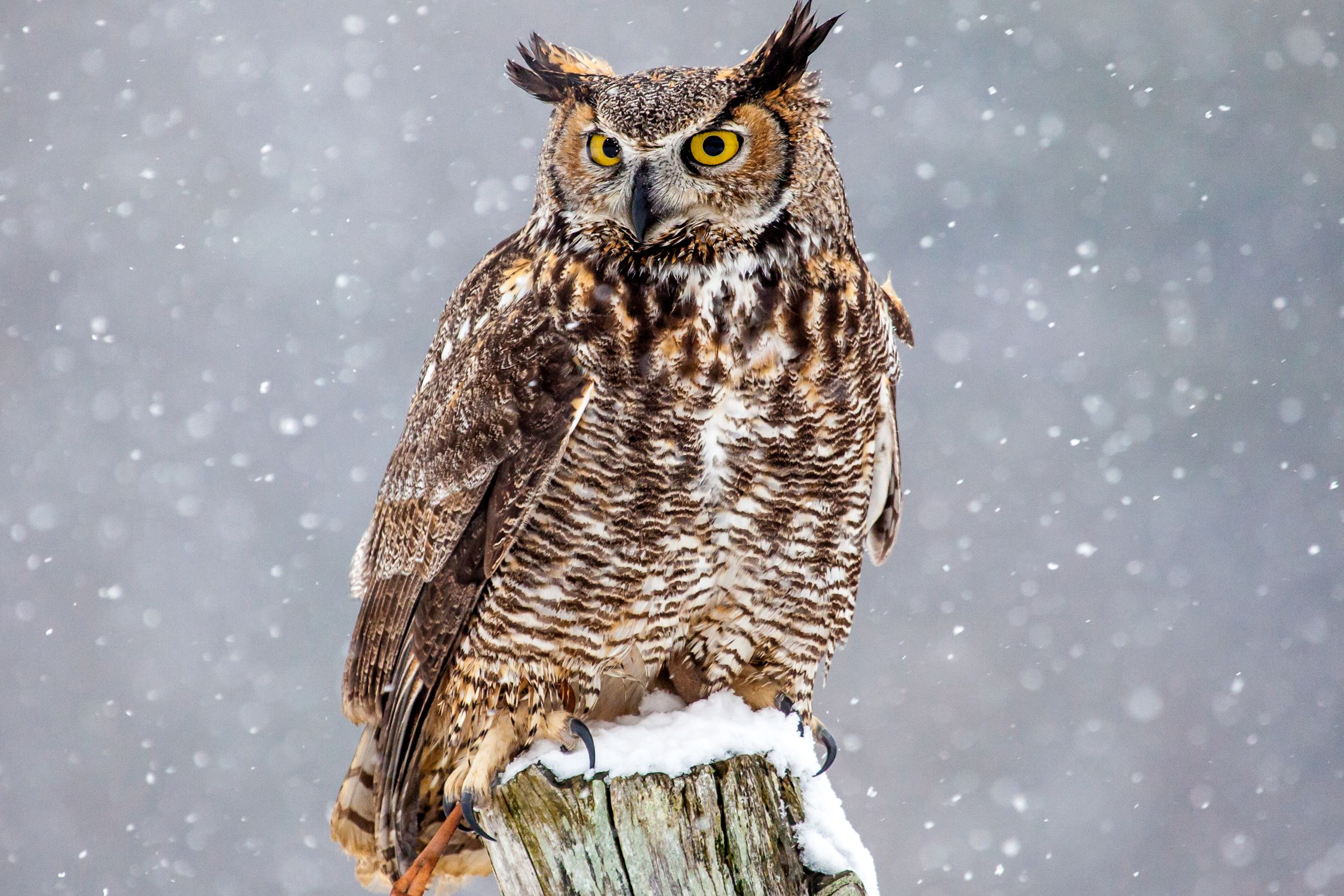 Cute Barn Tyto Owl Wallpaper Great Horned Owls Facts