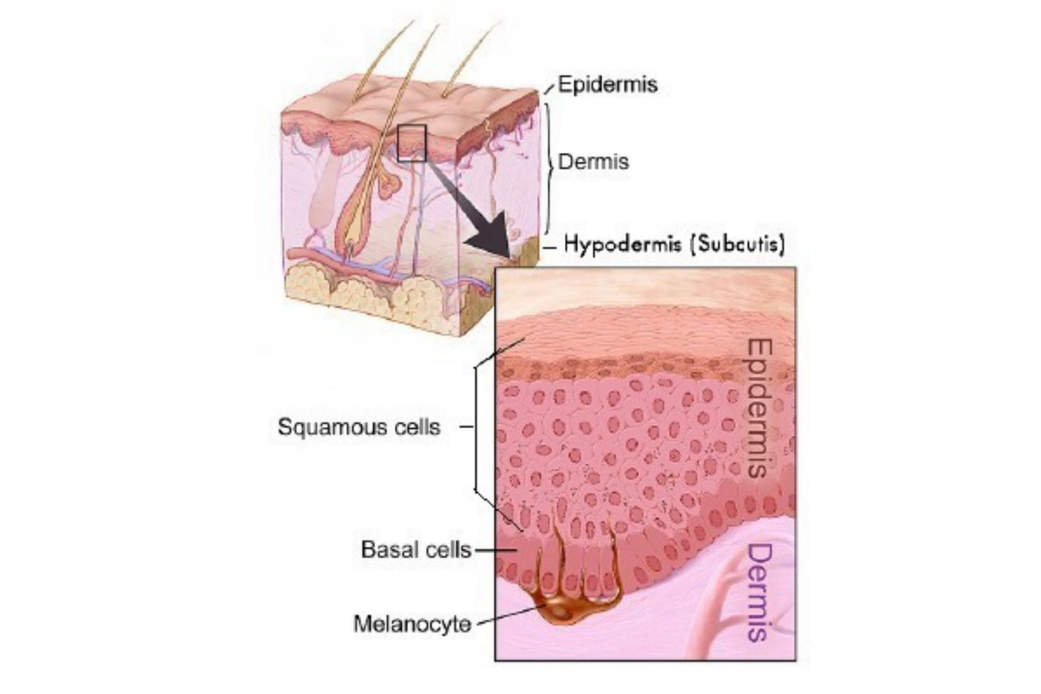 7 layers of skin diagram sql server entity relationship the integumentary system epidermis