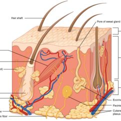 Match The Letters On Diagram Of Human Brain Parts Quiz Layers Integumentary System