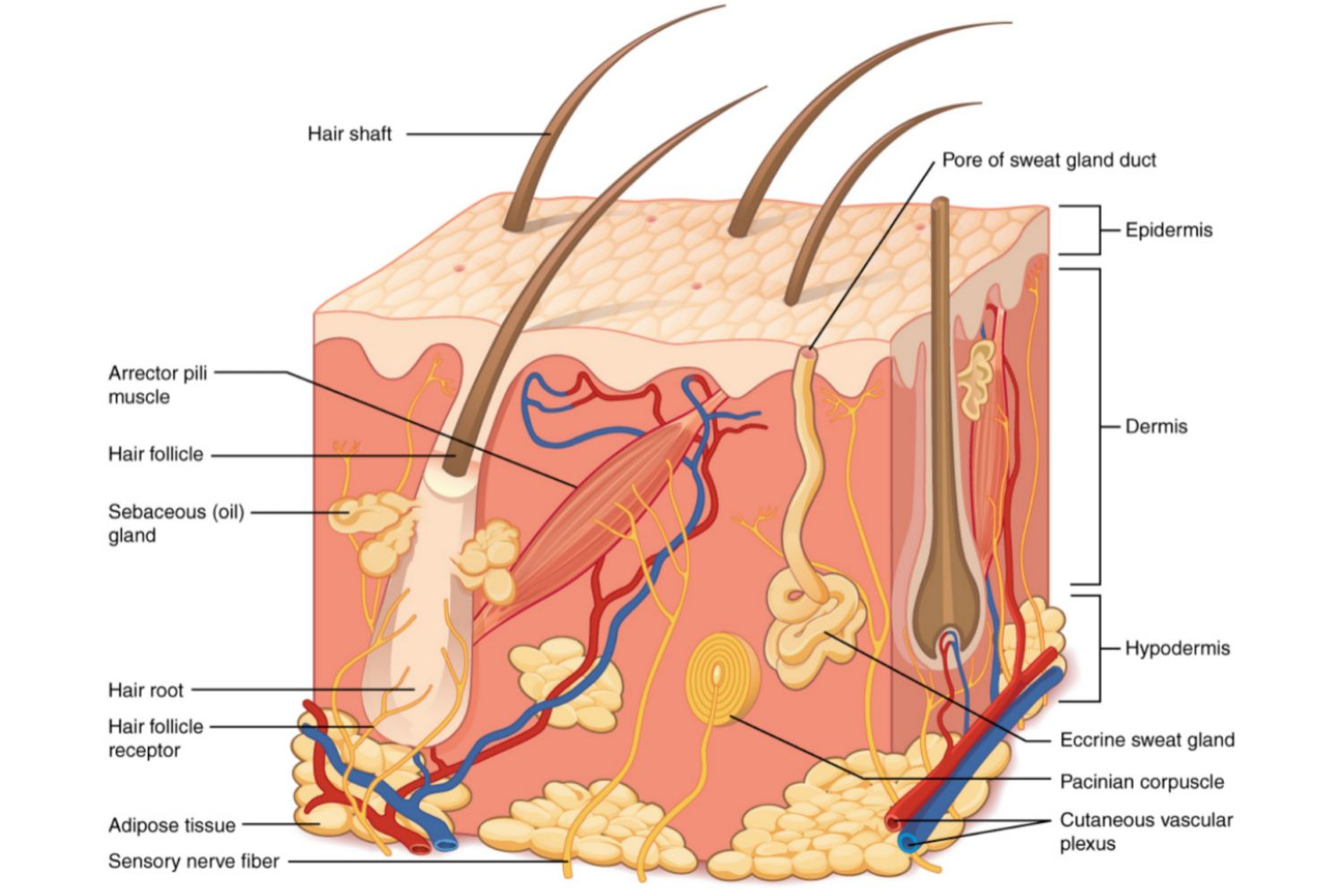 dog nail diagram 2007 f150 headlight wiring the layers of integumentary system