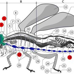House Fly Anatomy Diagram Onan Generator Starter Wiring Color Diagrams Of Insect Organs And Internal Structures Nervous System
