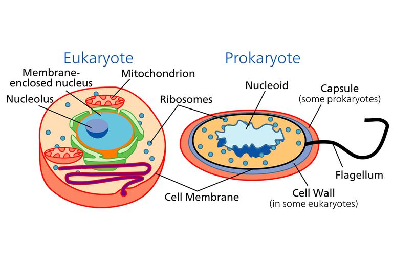 microbiology prokaryotic cell diagram labeled goodman heat pump thermostat wiring learn about the different types of cells and eukaryotic