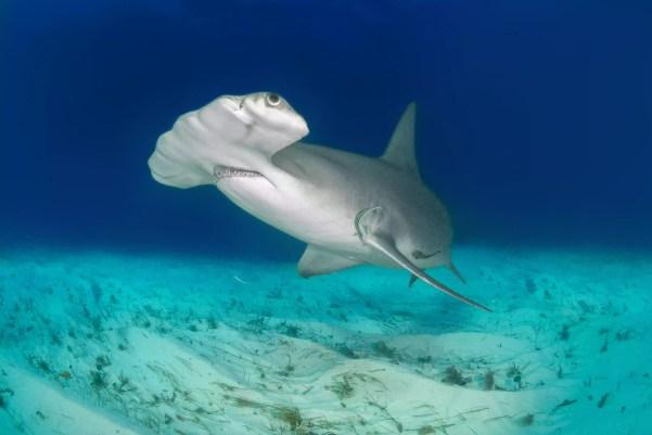Tubarão-martelo no fundo do oceano