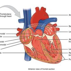 Interior Heart Diagram Human Evolution Tree Anatomy Of The View Av And Sa Nodes Electrical System