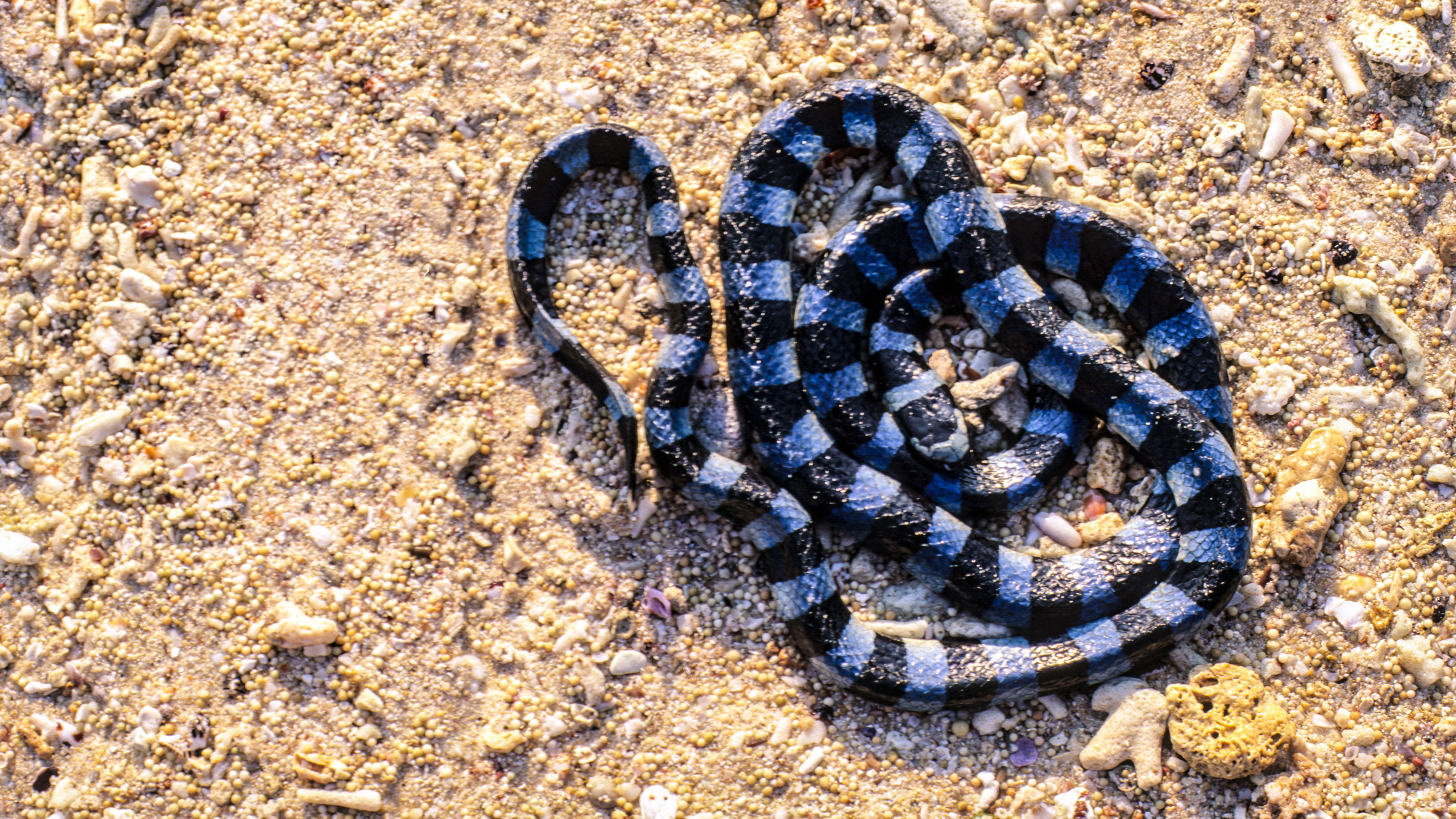 Banded Sea Krait Facts Laticauda Colubrina