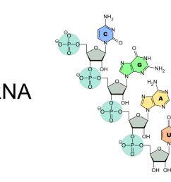 rna is composed of a phosphate ribose sugar backbone and the nitrogenous bases adenine guanine cytosine and uracil u sponk wikimedia commons [ 1500 x 1000 Pixel ]