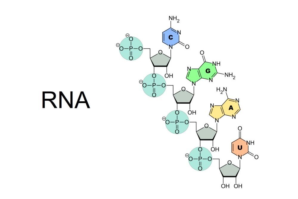medium resolution of rna structure