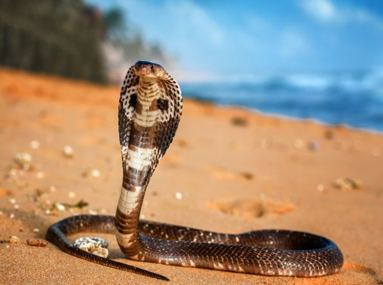 Image result for king cobra