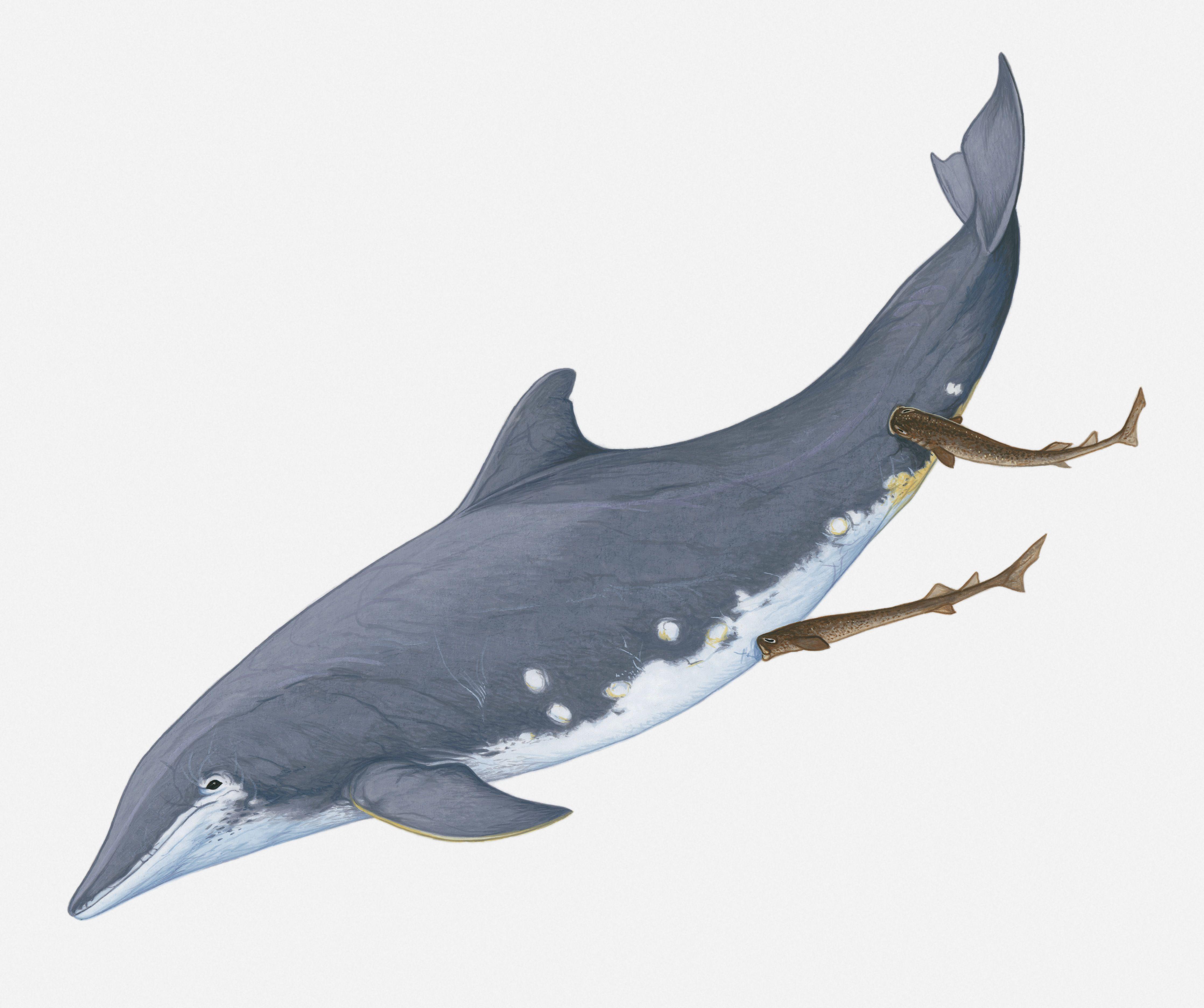 Cookiecutter Shark Facts and Information