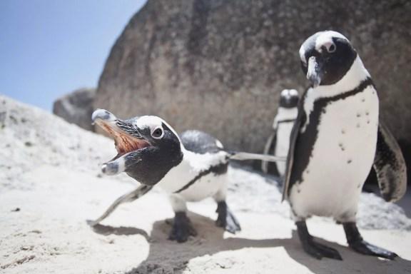 Pinguins africanos.
