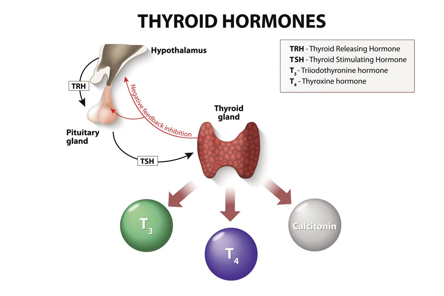 hight resolution of thyroid hormone production and regulation