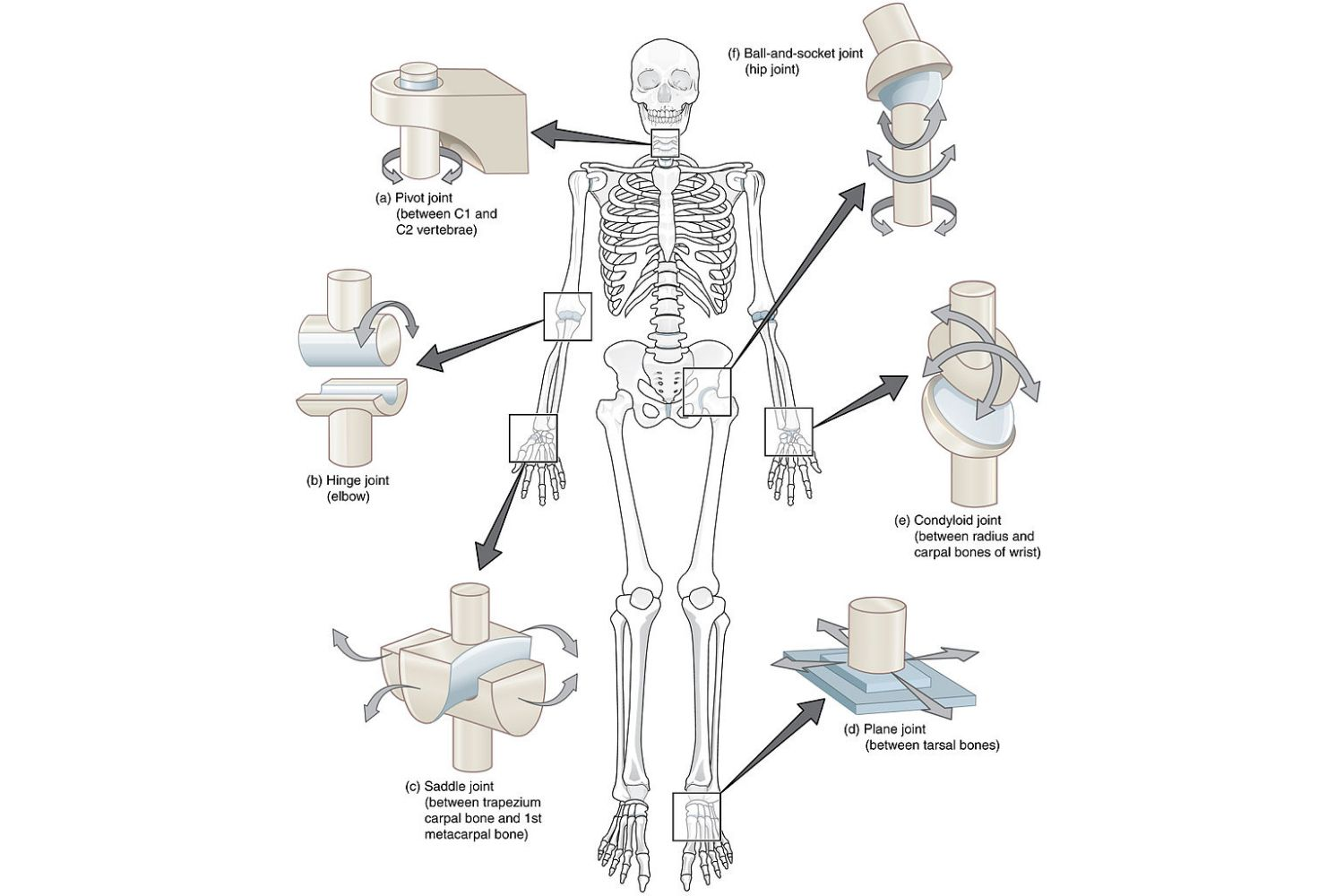 hight resolution of synovial joint types