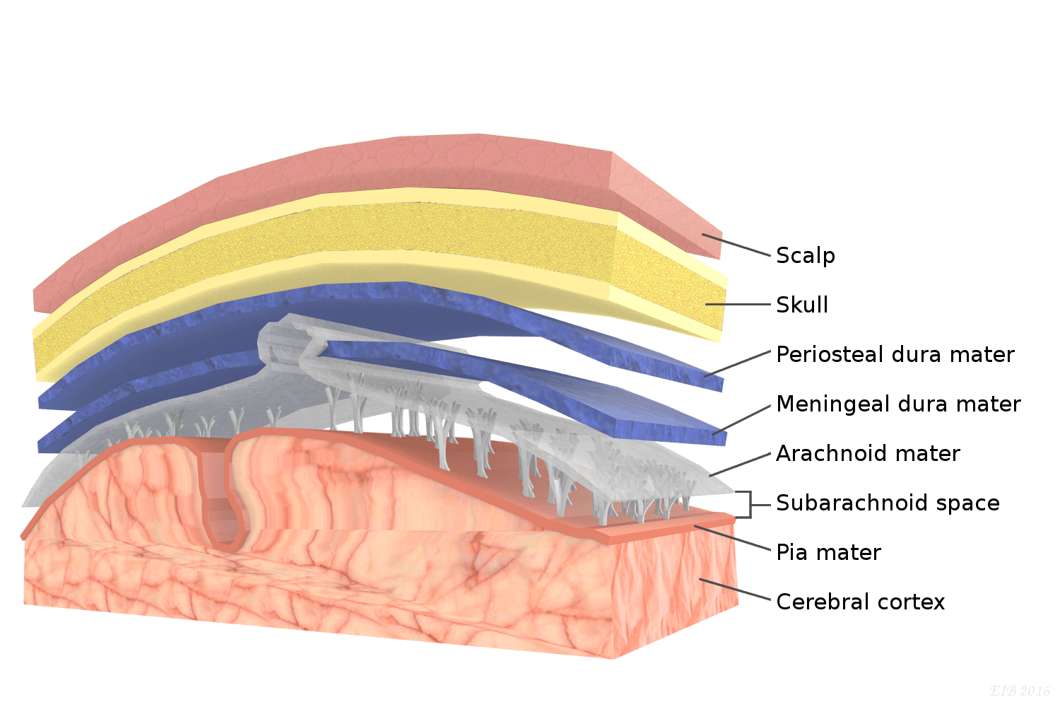 skin layers diagram labeled simple 79 trans am ac wiring meninges function and health problems