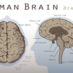 Easy Brain Diagram 2002 Mitsubishi Mirage Radio Wiring Mesencephalon Midbrain Function And Structures Learn About The Share Flipboard Email Print Human
