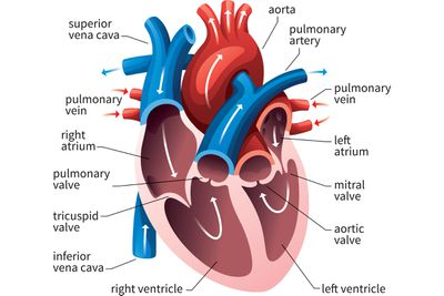 cardiac conduction system diagram wiring for trailer brake controller how the main pulmonary artery delivers blood to lungs