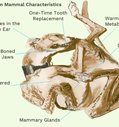 carnivore tooth diagram [ 1500 x 1000 Pixel ]
