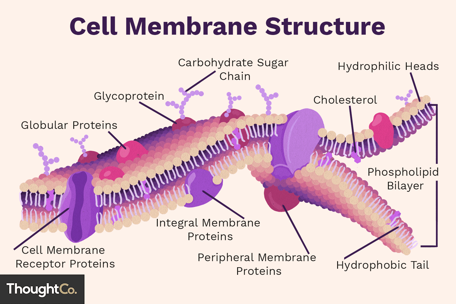 cell membrane diagram soldering neutrik function and structure