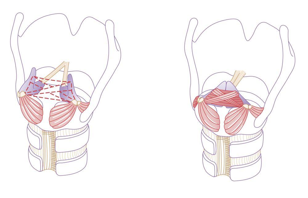 medium resolution of vocal fold diagram
