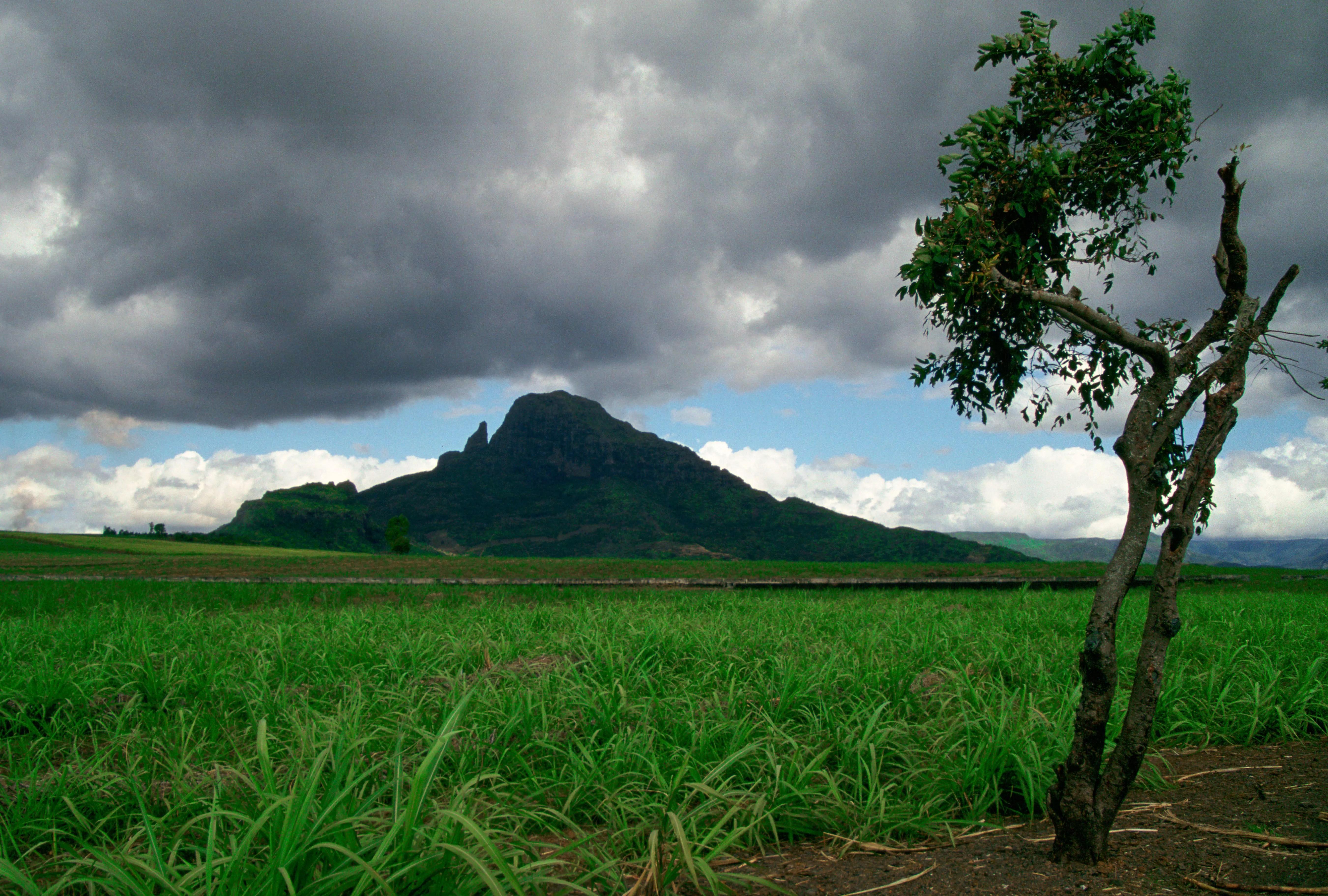 Sugar Cane Crop, Mauritius