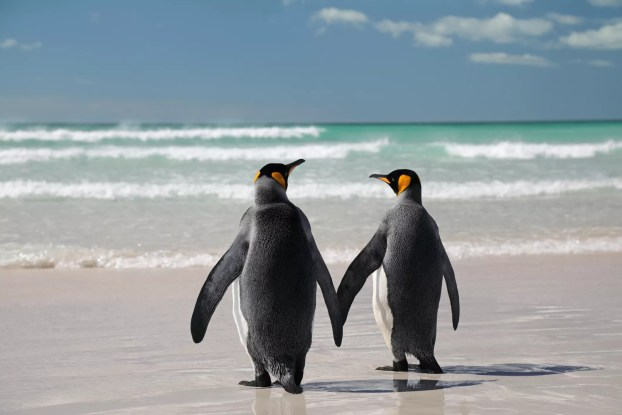 Pinguins na praia.