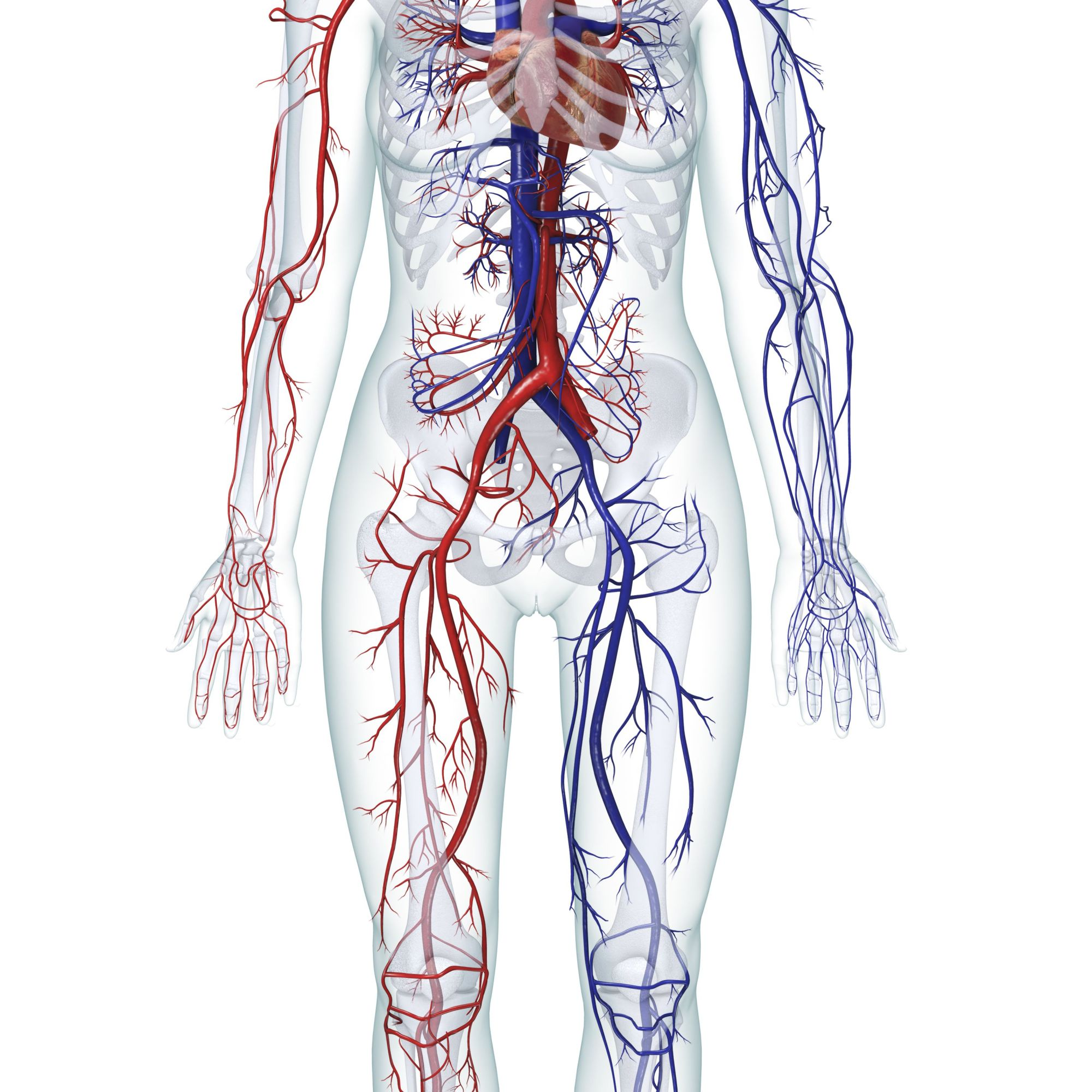 hight resolution of digital illustration of the human cardiovascular system female
