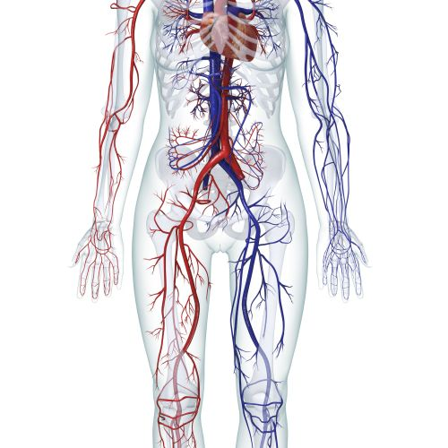 small resolution of digital illustration of the human cardiovascular system female