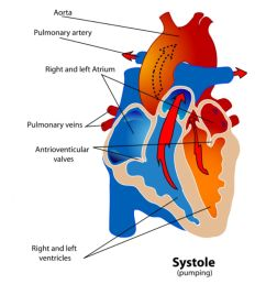 diagram of the heart during the systole phase of the cardiac cycle  [ 1500 x 1000 Pixel ]