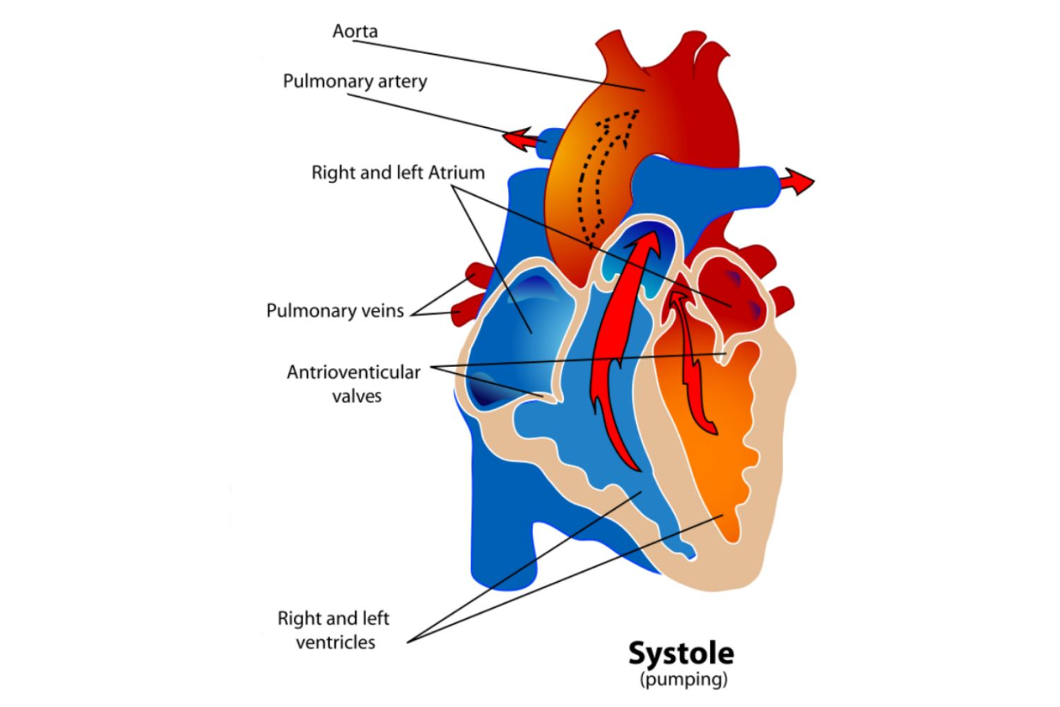 hight resolution of diagram of the heart during the systole phase of the cardiac cycle