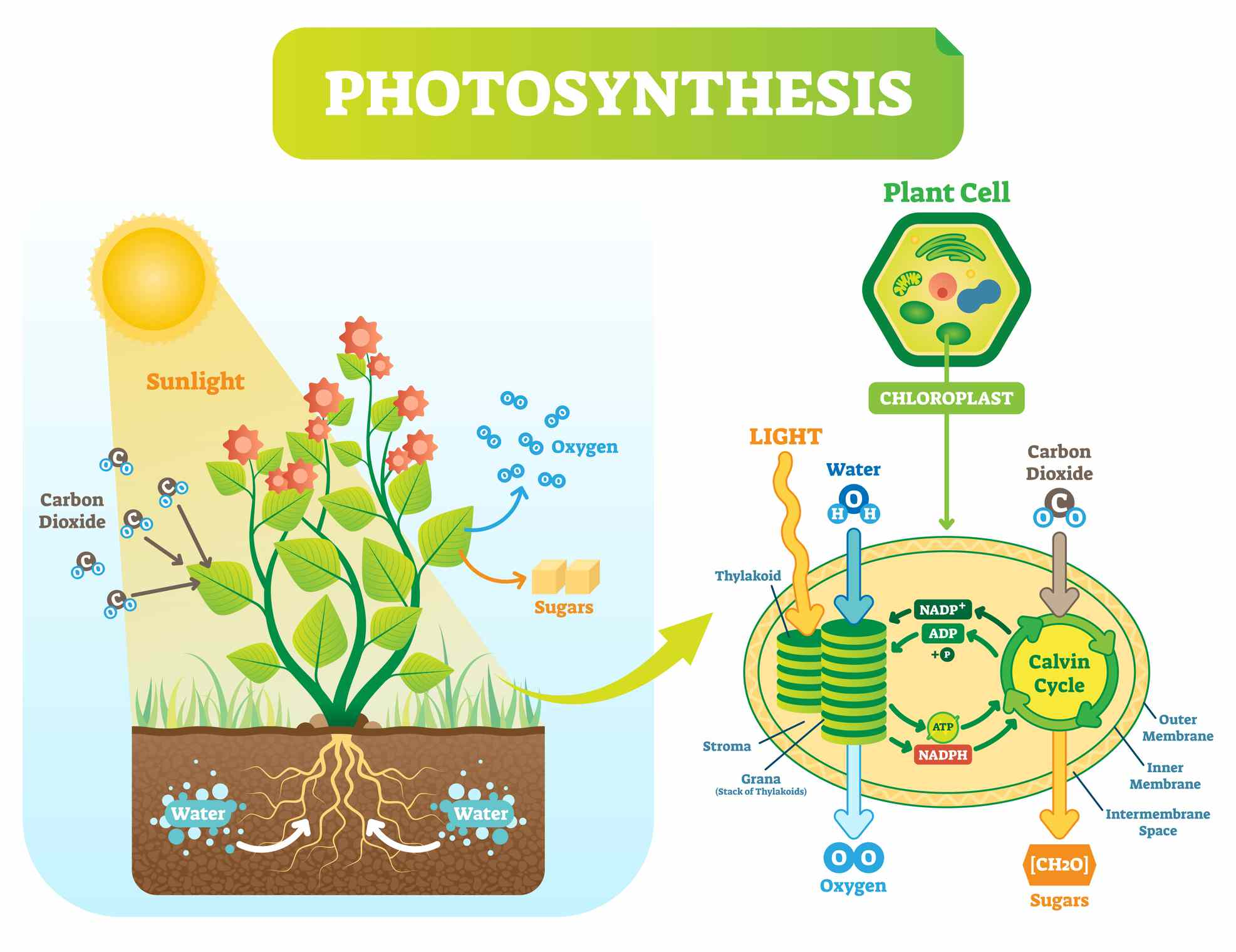 Photosynthesis Chloroplast Diagram Labeling Worksheet