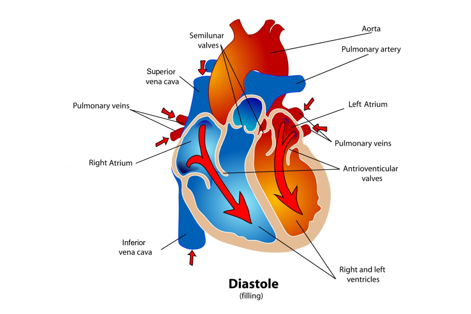 hight resolution of diagram of the heart during the diastole phase of the cardiac cycle